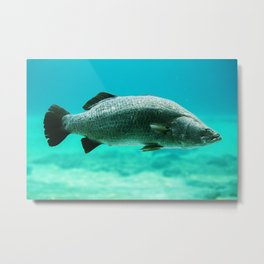 Closeup of a barramundi swimming Metal Print