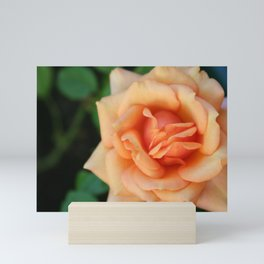 Single rose flower blooming Mini Art Print