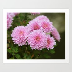 Pink Chrysanthemums Art Print