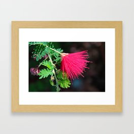 Calliandra Californica Framed Art Print