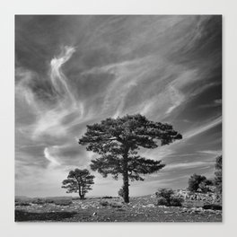 Black Pine At 2000 Meters. Cazorla Natural Park. Canvas Print