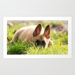 I'm not a fox but a Malinois puppy Art Print