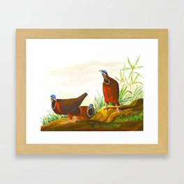 Blue-headed Pigeon Framed Art Print