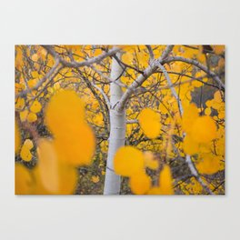 Montana Aspen Canvas Print