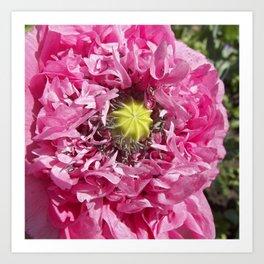 pink poppy macro XII Art Print