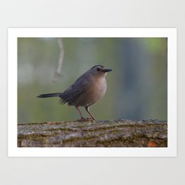 Gray Catbird near Sunrise Art Print