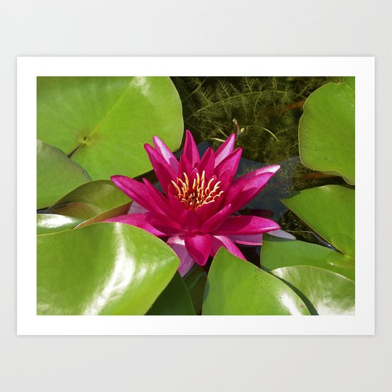 red water lily VI Art Print