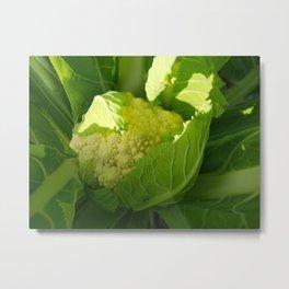 Brassica oleracea Metal Print