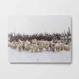 Snowy Sheep Stare Metal Print