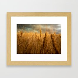 Harvest Time - Golden Wheat in Colorado Field Framed Art Print