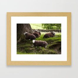Herdwick sheep resting in the shade of a tree. Buttermere, Lake District, UK Framed Art Print