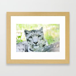 Snow leopard (Irbis)  Framed Art Print