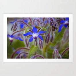 Borage flower colour Art Print