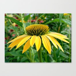 Yellow Echinacea/Coneflower Sideview Canvas Print
