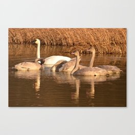 Trumpeter Swan Family Canvas Print