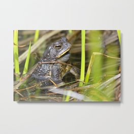 Toad in the pond Metal Print