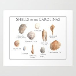 Shells of the Carolinas  Art Print