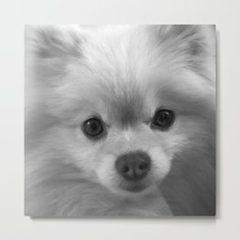 The most loveable pomeranian puppy you'll ever see Metal Print