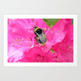 Bumble Bee on Pink Rhododendron Flowers Art Print