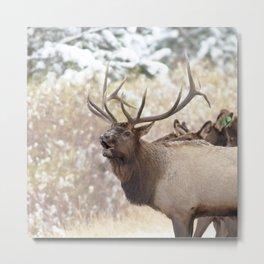 Watercolor Elk Bull 36, Estes Park, Colorado, Hola! Metal Print