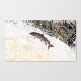 Leaping Atlantic salmon salmo salar Canvas Print