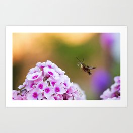Clearwing Hummingbird Moth over Pink Phlox Art Print