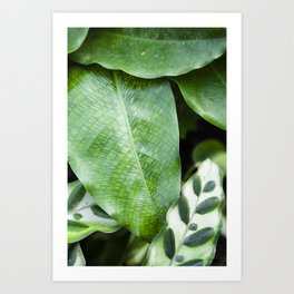 Calathea Musaica & Lancifolia  |  The Houseplant Collection Art Print