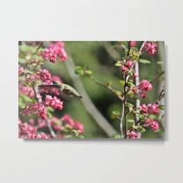 Hummingbird on a red Currant Bush Metal Print