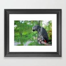 African Grey on Park Perch Framed Art Print
