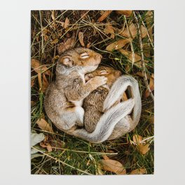 Two baby squirrels cuddling as they sleep Poster