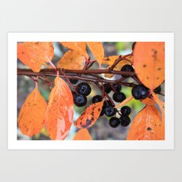 Choke Berries in Autumn Art Print