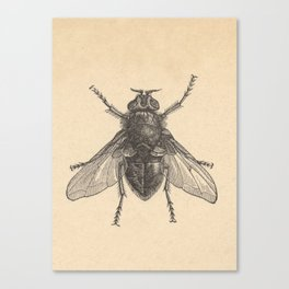 Antique Housefly Illustration Canvas Print