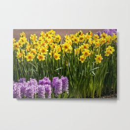 Rows of Purple Hyacinth Flowers and Yellow Daffodils in Amsterdam, Netherlands Metal Print