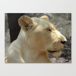 White Lionness Canvas Print