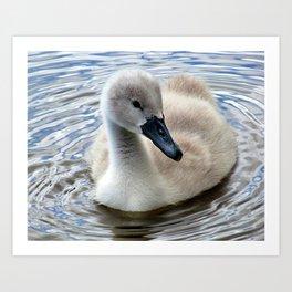 Cygnet Swan Swimming Art Print