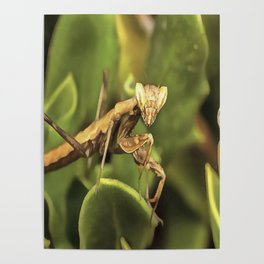 Praying Mantis On Green Garden Background Poster