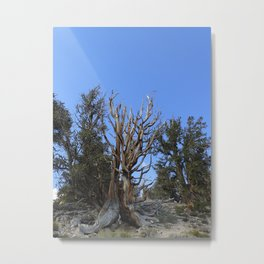 Forest trees 4,000 years old Metal Print
