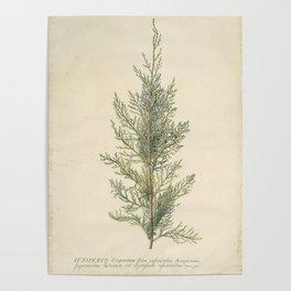 Vintage Botanical Juniper Branch Poster