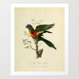 """Blue Bellied Parrot"" by Sarah Stone, 1790 Art Print"