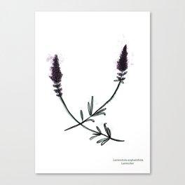 Lavendula angustifolia Canvas Print