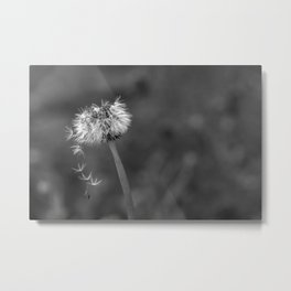 Black and white dandelion flying petals Metal Print
