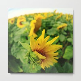 Sunflower 19 Metal Print