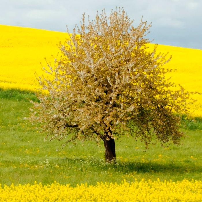 Tree in Yellow Field Leggings