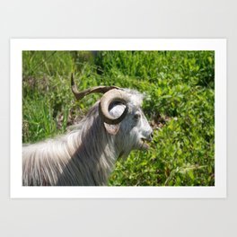 Side View of A Billy Goat Grazing Art Print