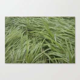California Grass & Dew Canvas Print
