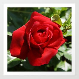 Beautiful Climbing Red Rose Close Up Photograph Art Print