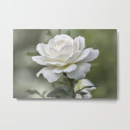 white rose in the garden Metal Print