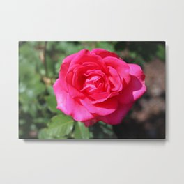 Astounding Glory Rose Metal Print