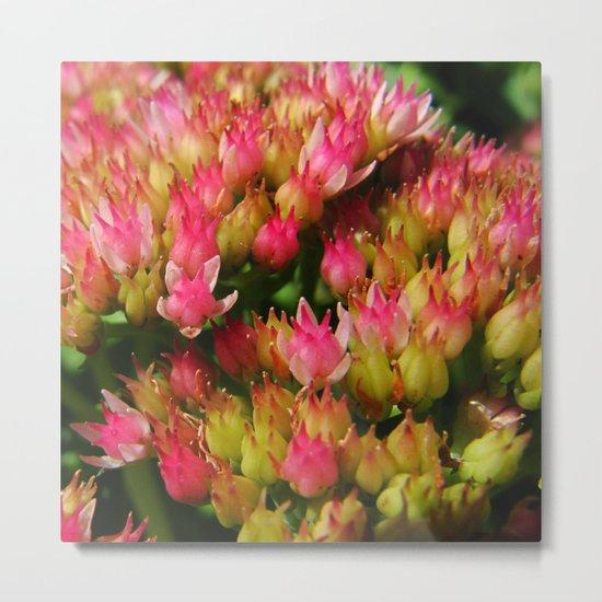 buds of pink flowers Metal Print