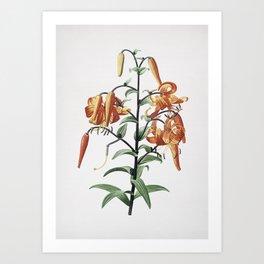 Vintage Tiger Lily Illustration Art Print